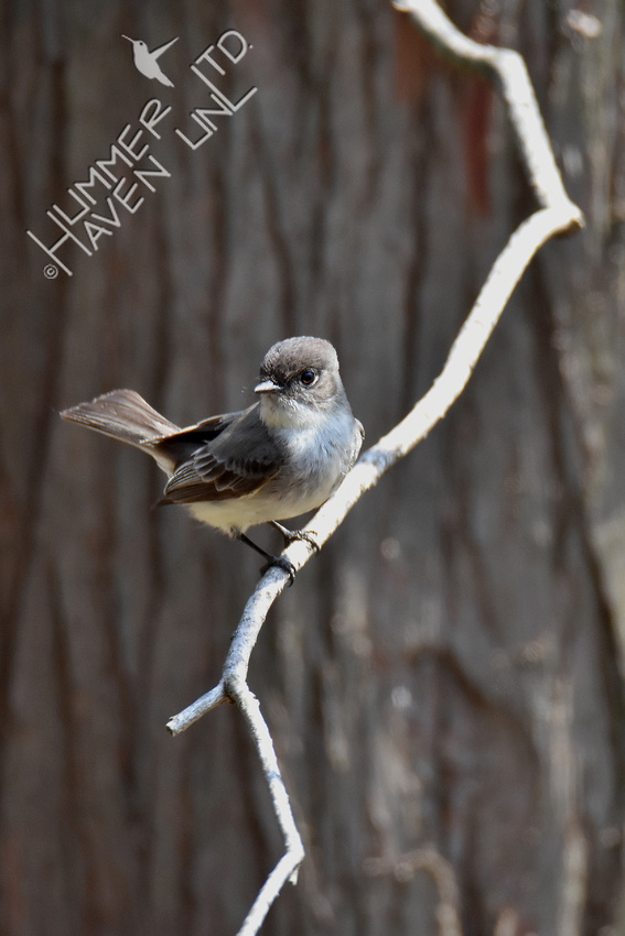 4-1-20 Eastern Phoebe, tail up
