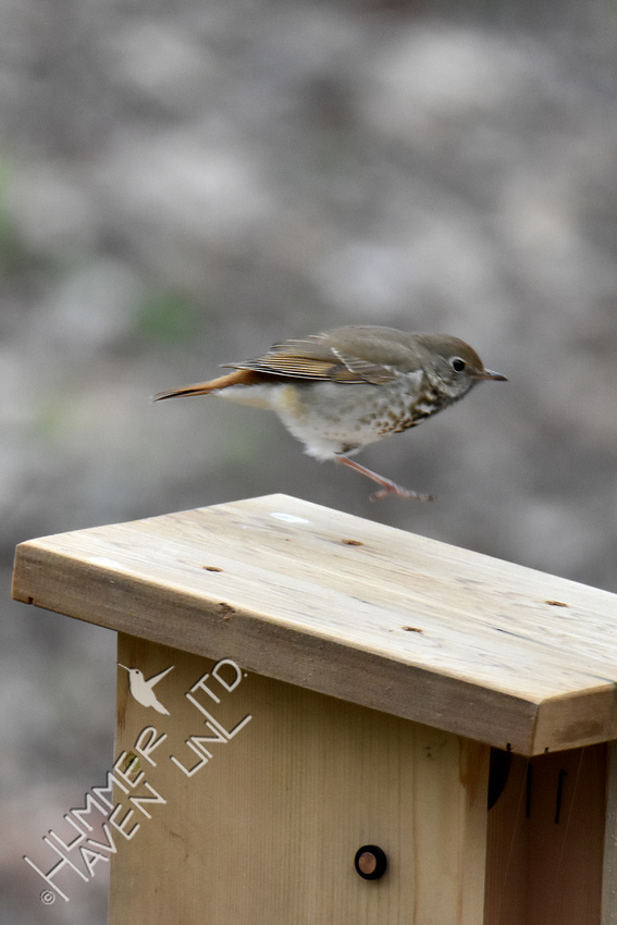 4-5-20 Hermit Thrush- one legged