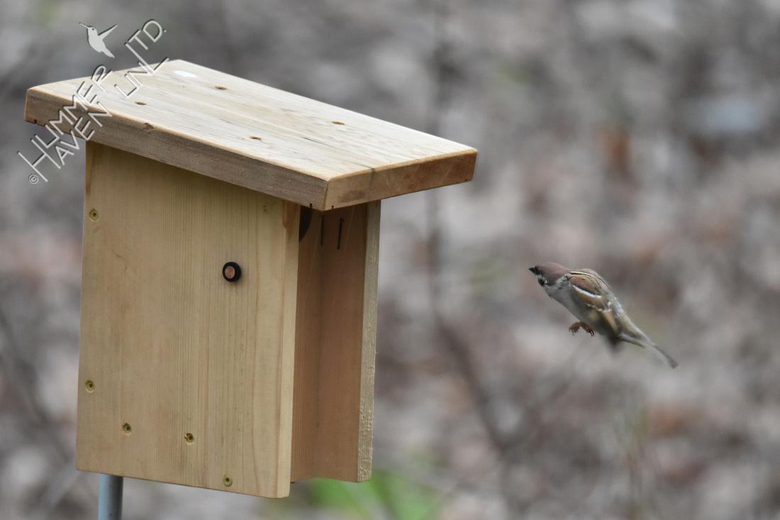 4-5-20 Eurasian Tree Sparrow flutters at nest box