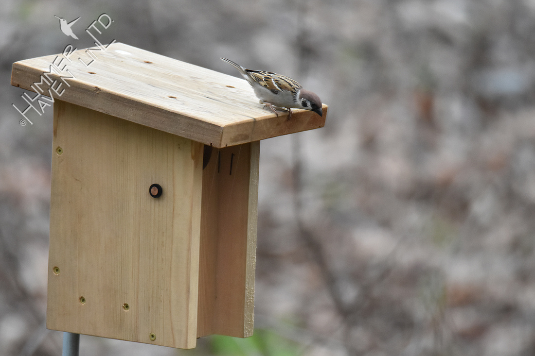 4-5-20 Eurasian Tree Sparrow confused at nest box