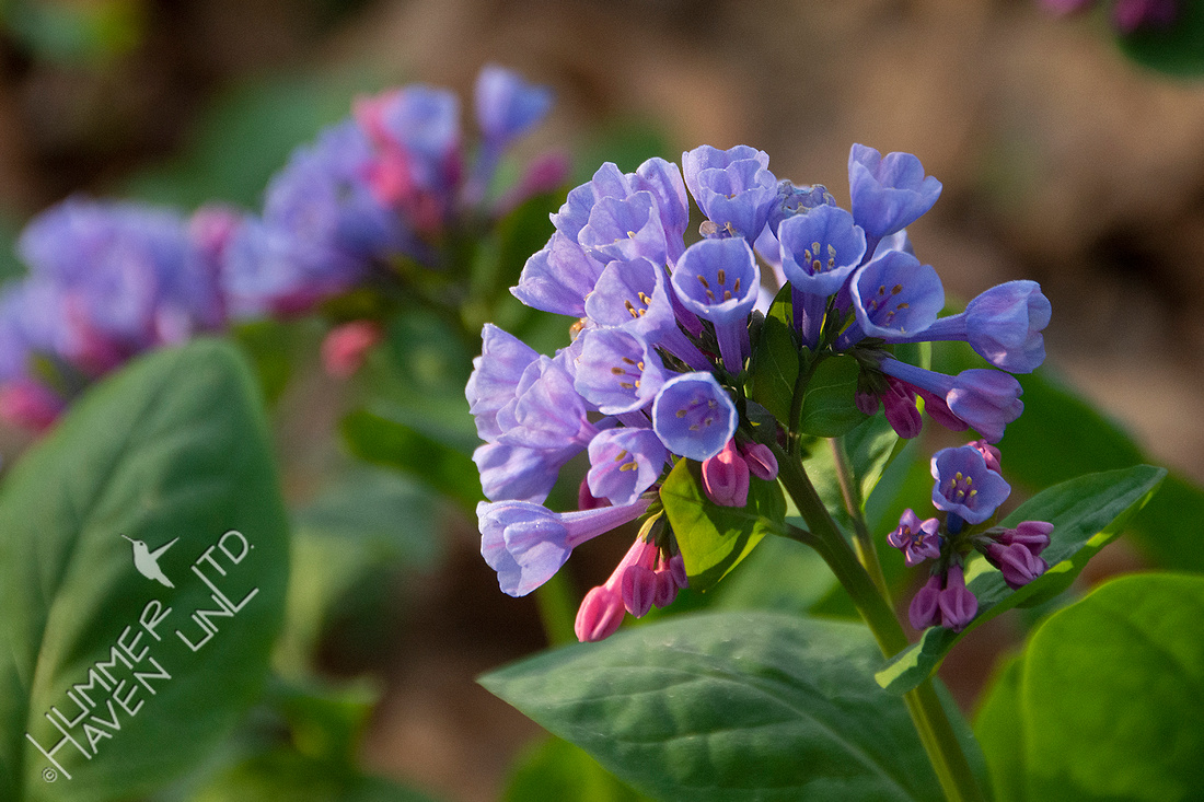 4-8-20 Virginia Bluebells (Mertensia virginica)