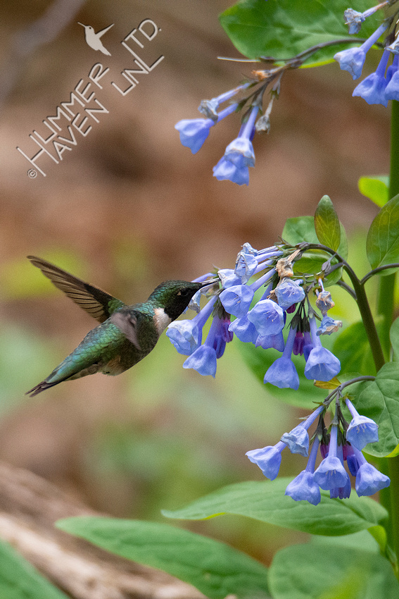 4-19-20 Ruby-throated Hummingbird at Virginia Bluebells (Mertensia virginica)