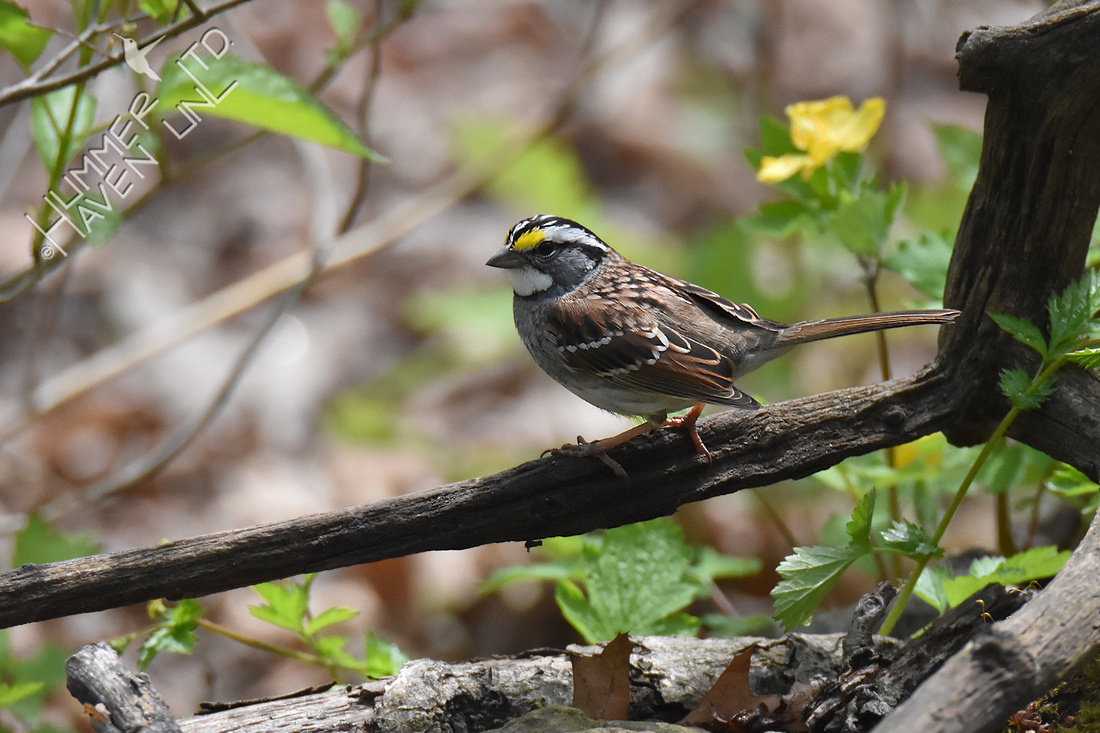 4-19-20 White-throated Sparrow