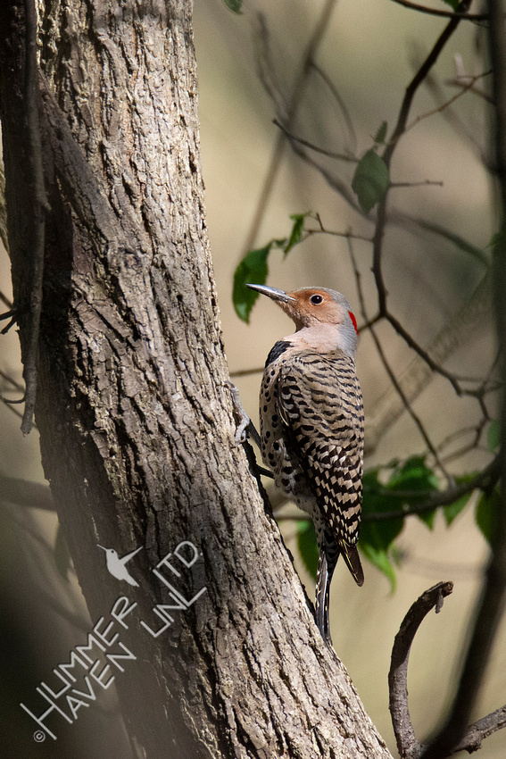 4-18-20 Northern Flicker female