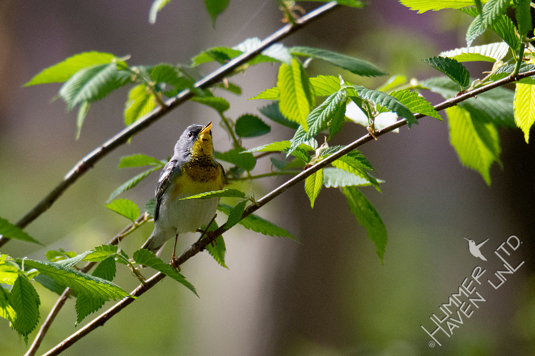 4-21-20 Northern Parula singing in American Elm (Ulmus americana)