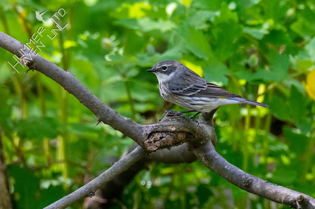 4-22-20 Yellow-rumped Warbler female