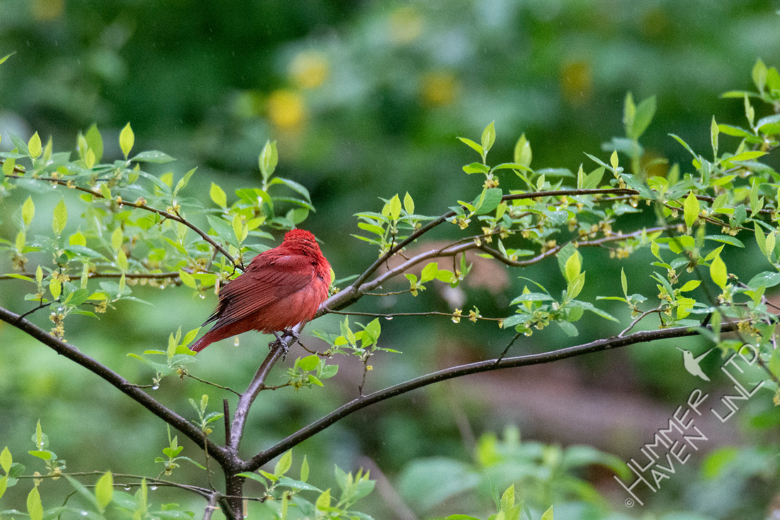 4-23-20 FOY#64 Summer Tanager in Spicebush