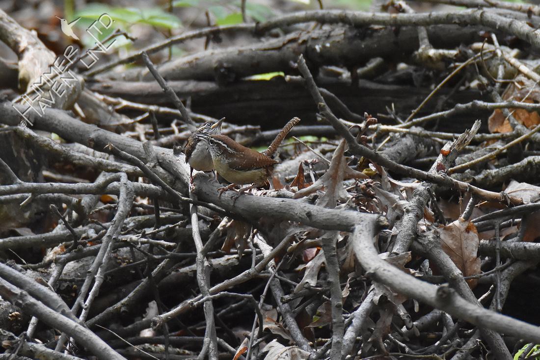 4-24-20 Carolina wren fledgling