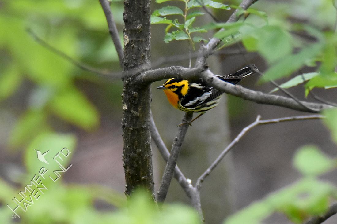 4-27-20 FOY#82 Blackburnian Warbler