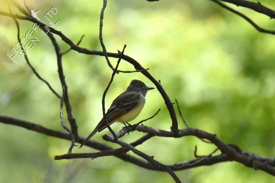 4-27-20 FOY#84 Great Crested Flycatcher