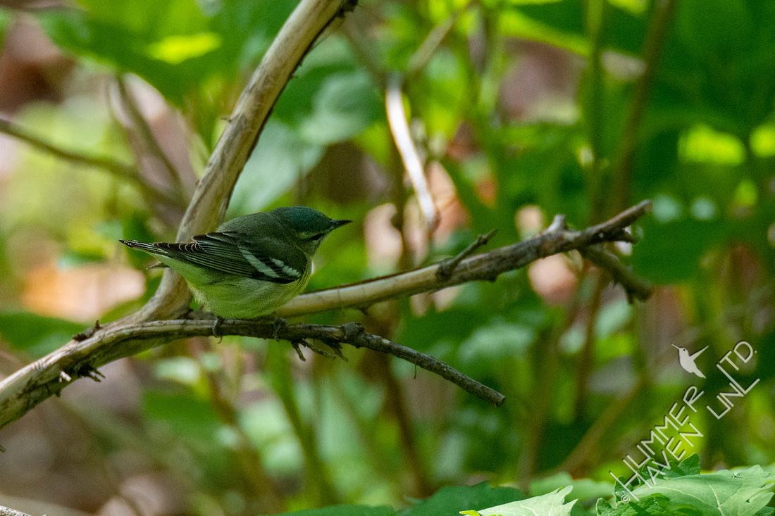 4-26-20 FOY #75 Cerulean Warbler female, rare CCS 15