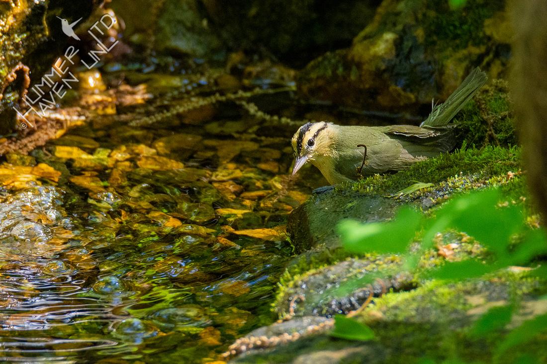 4-30-20 Worm-eating Warbler