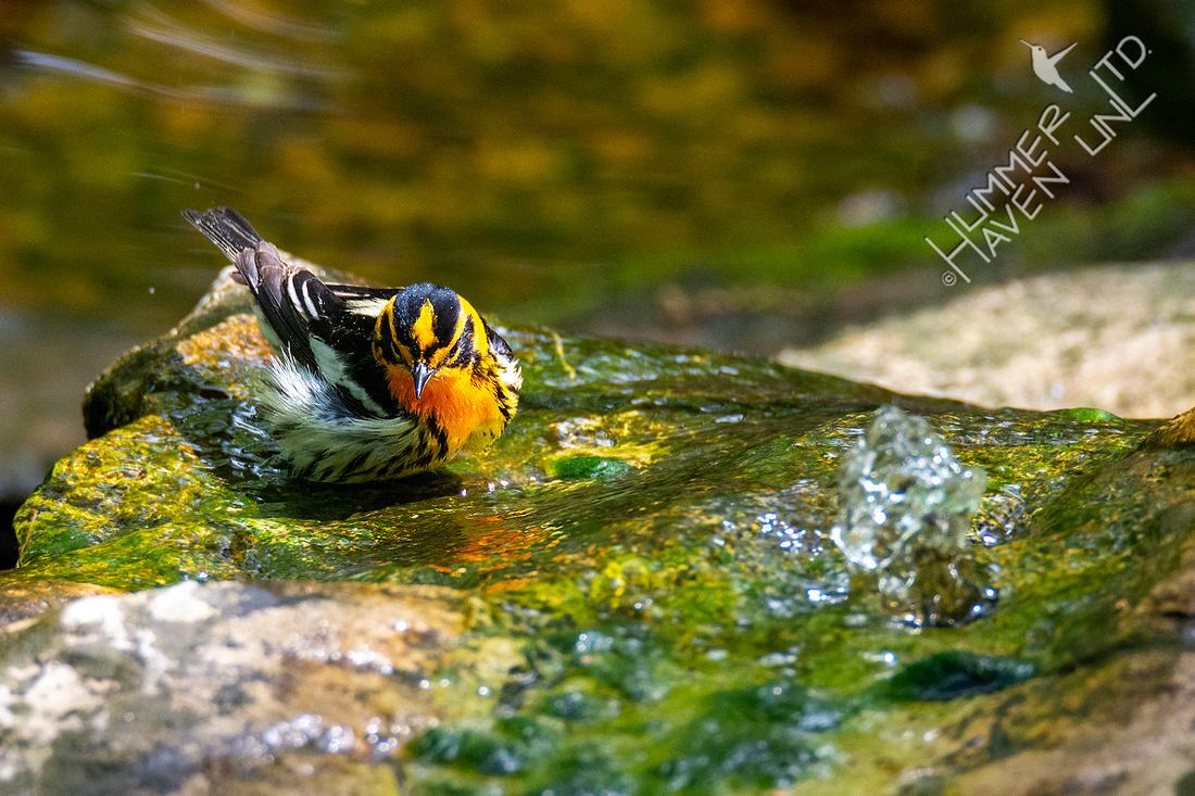 5-1-20 Blackburnian Warbler
