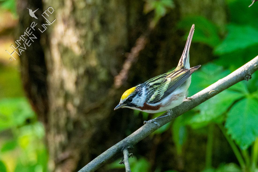 5-2-20 Chestnut-sided Warbler