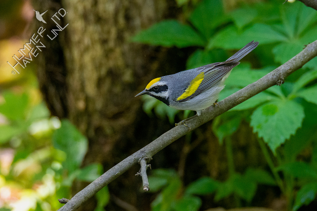 5-4-20 Golden-winged Warbler