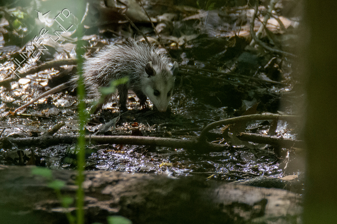 5-1-20 Young Opossum