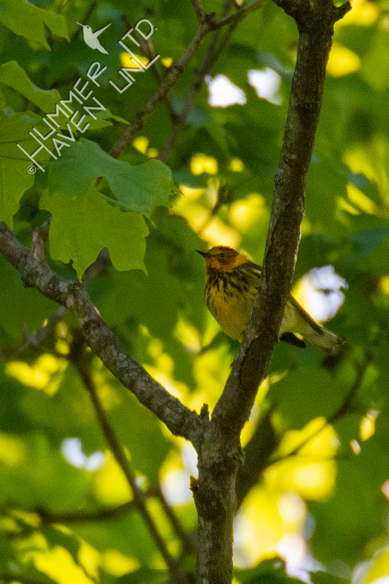 5-6-20 Cape May Warbler!