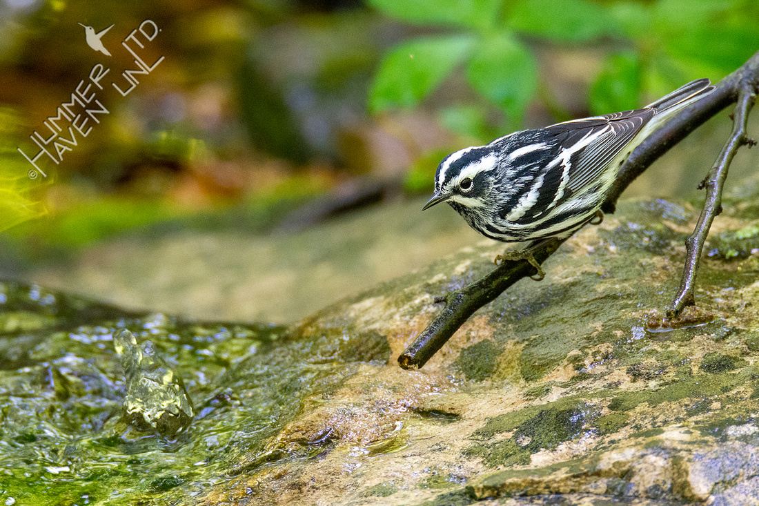 5-7-20 Black-and-white Warbler
