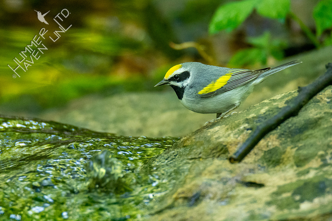 5-9-20 Golden-winged Warbler