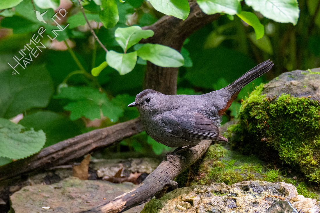 5-20-20 Gray Catbird