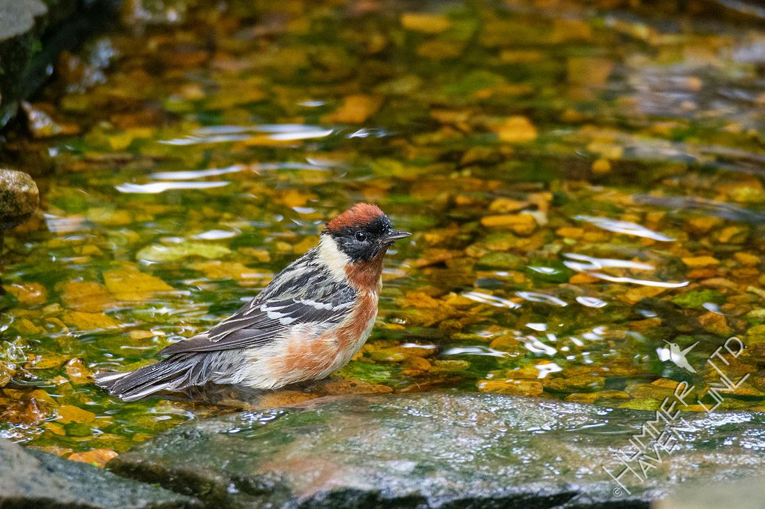 5-20-20 Bay-breasted Warbler