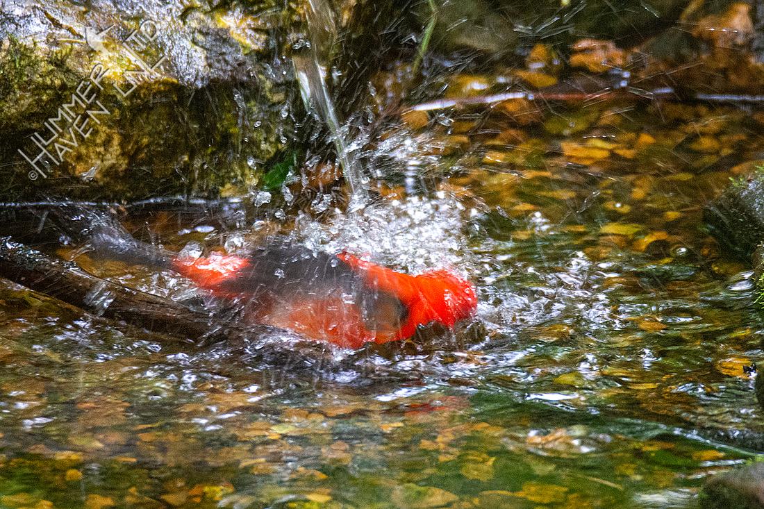 5-21-20 Scarlet Tanager