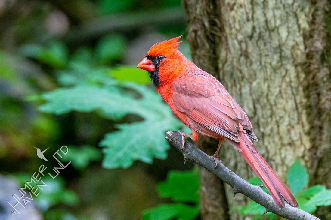 5-22-20 Northern Cardinal