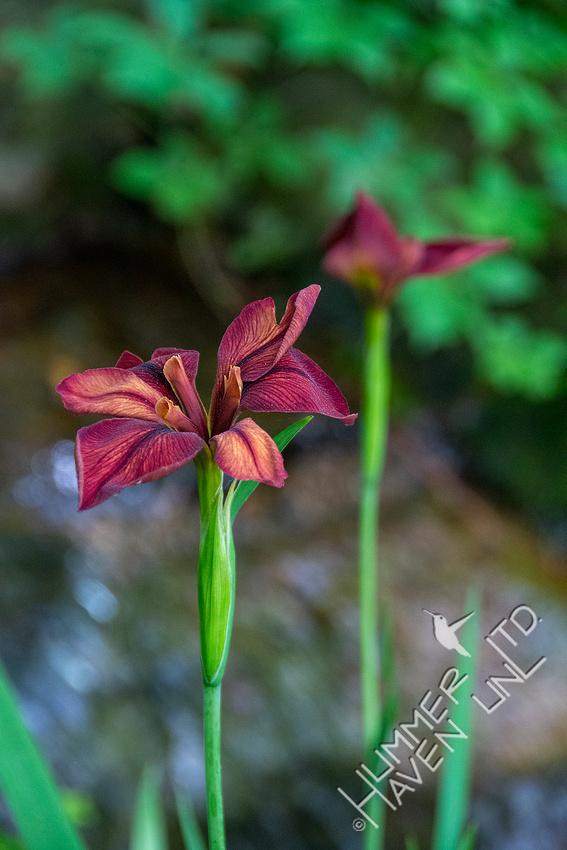 5-23-20 Copper Iris (Iris fulva)