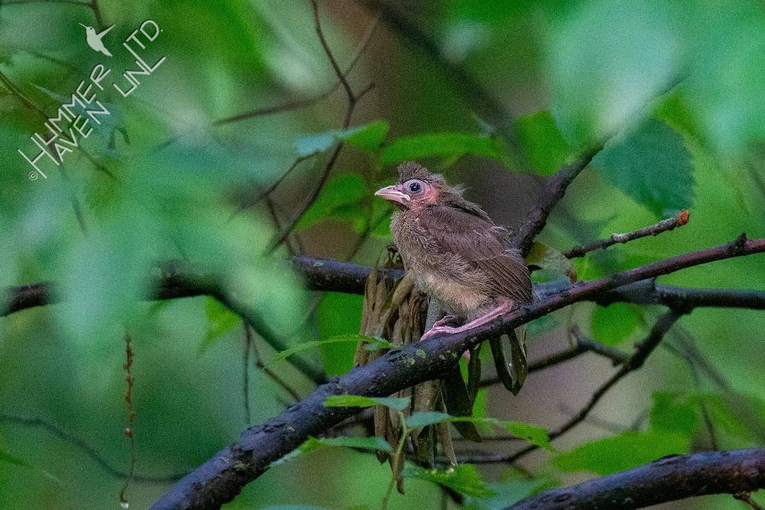 5-25-20 Northern Cardinal fledgling