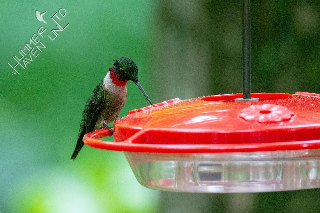 5-27-20 Ruby-throated Hummingbird