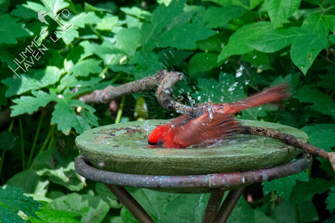 6-4-20 Northern Cardinal