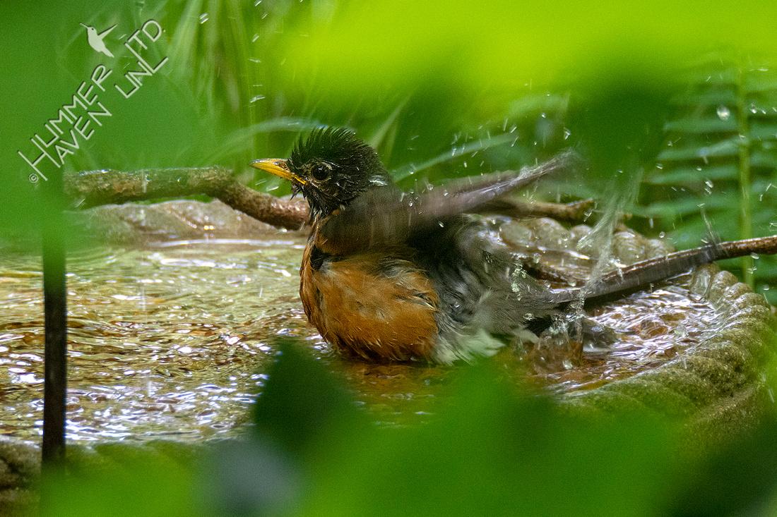 6-5-20 American Robin