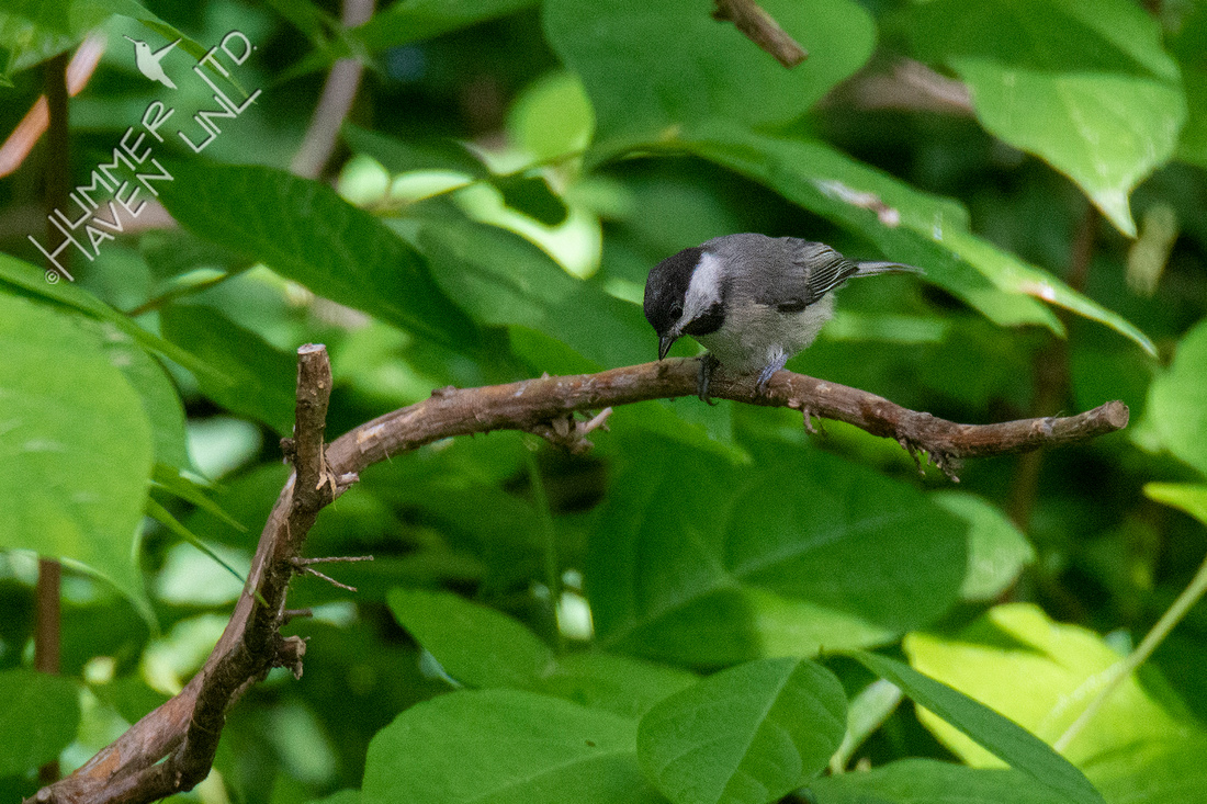 6-5-20 Carolina Chickadee