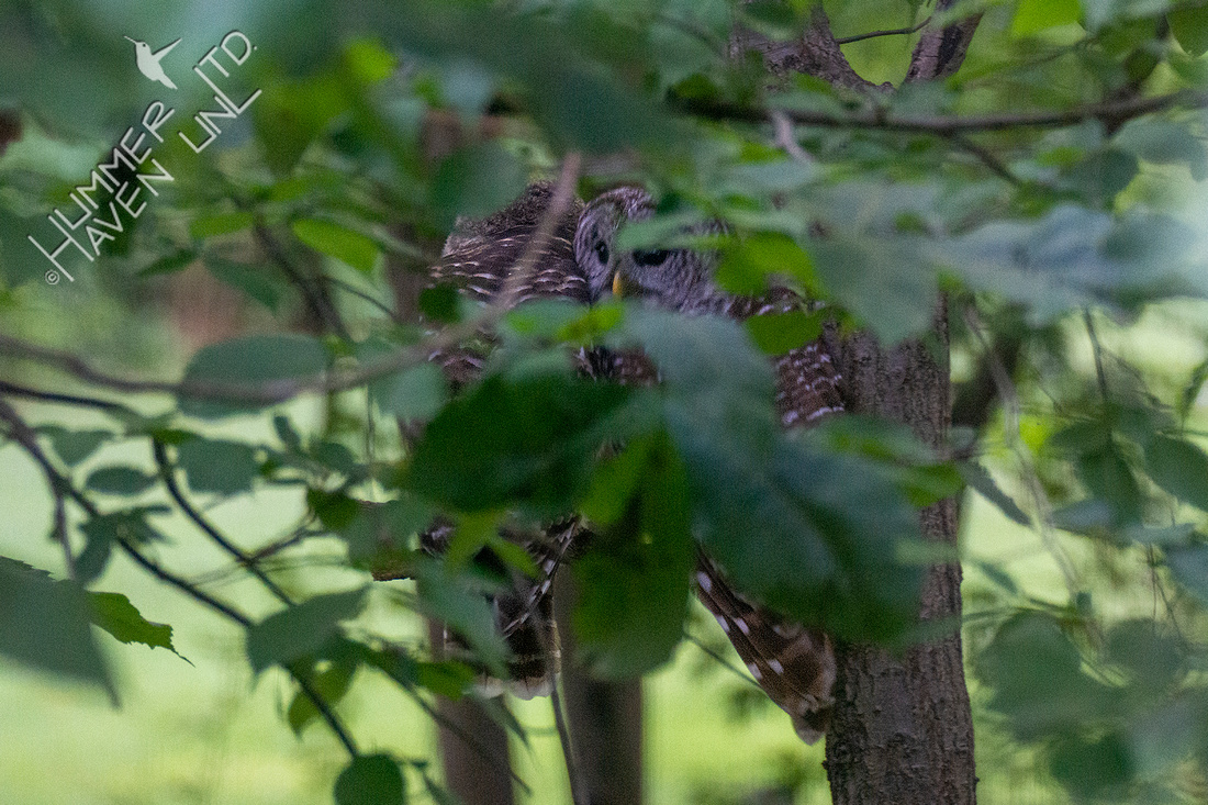 6-18-20 Barred Owl pair