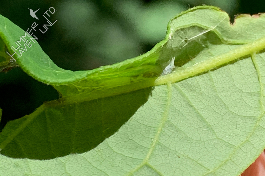 6-19-20 Empty leaf on 2nd Spicebush (Lindera benzoin)