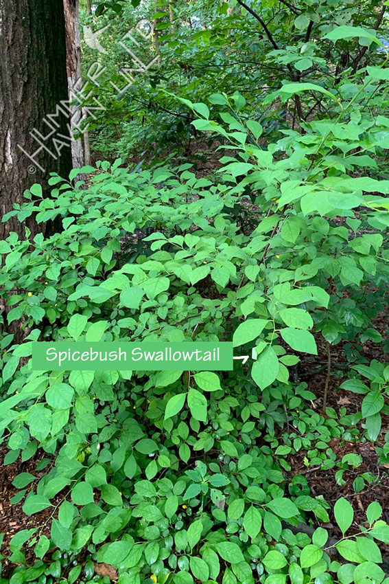 6-23-20 Spicebush (Lindera benzoin)