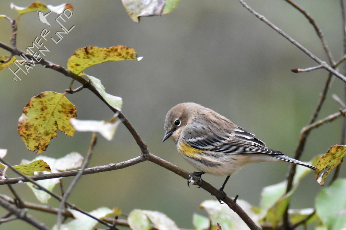 10-25-19 Yellow-rumped Warbler