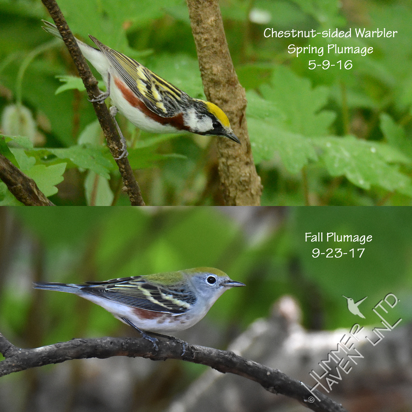Chestnut-sided Warbler in Spring and Fall