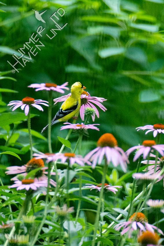 7-6-20 American Goldfinch  on Purple Coneflower