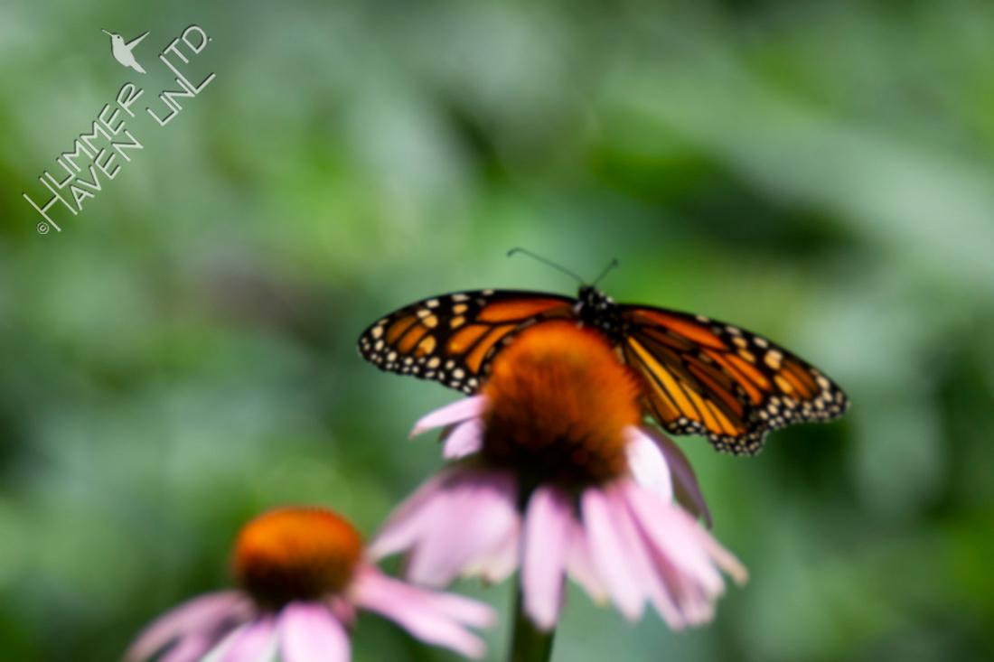 7-2-20 Monarch on Purple Coneflower