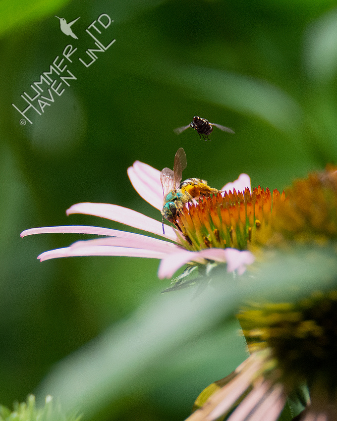 7-4-20 Striped Sweat Bee Agapostemon sp.