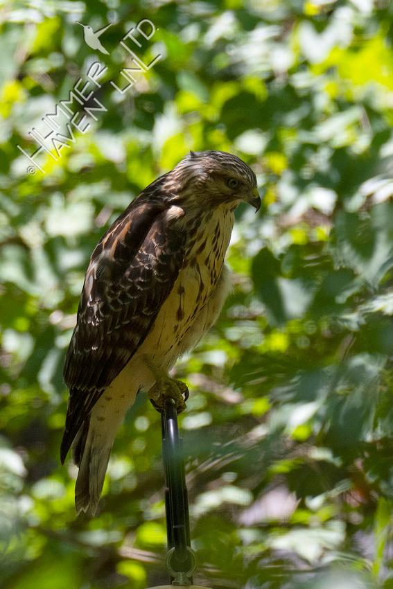 7-13-20 Red-shouldered Hawk juvenile