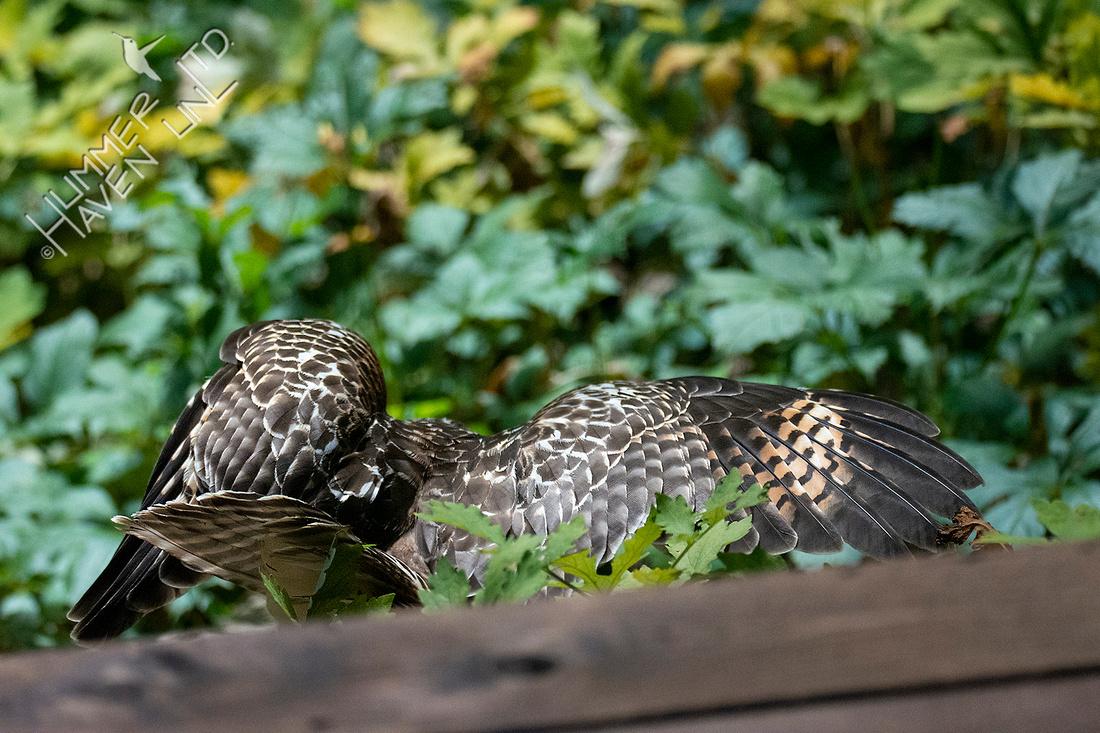 7-16-20 Red-shouldered Hawk juvenile, hunting prey