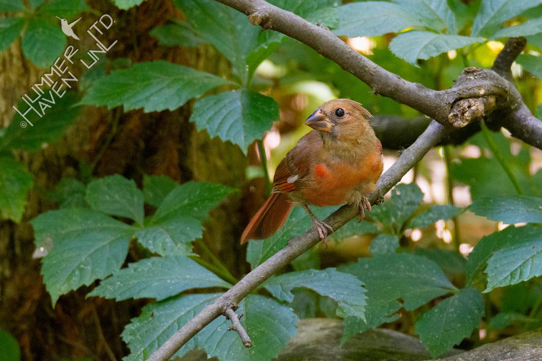 7-11-20 Northern Cardinal juvenile
