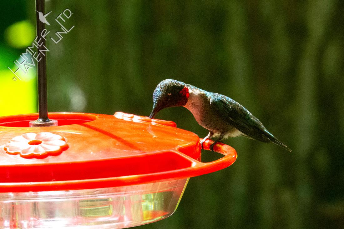 7-18-20 Ruby-throated Hummingbird