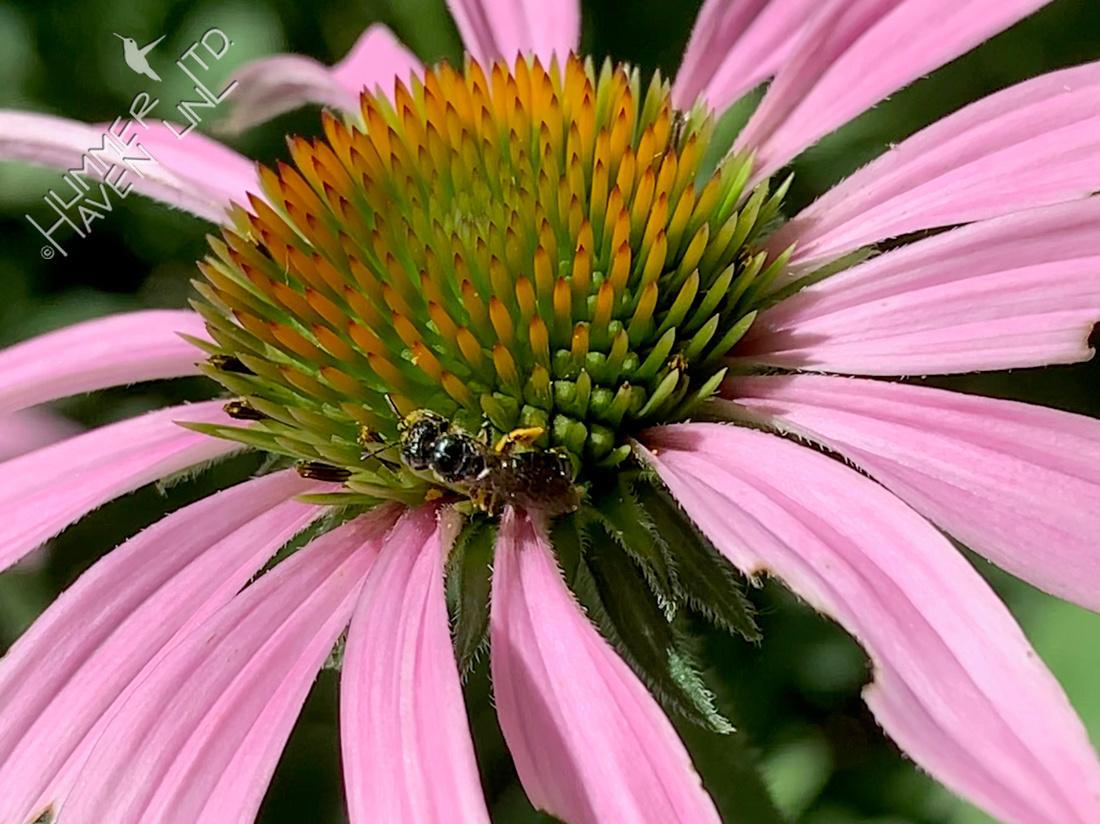 7-13-20 Small Carpenter Bee, Ceratina