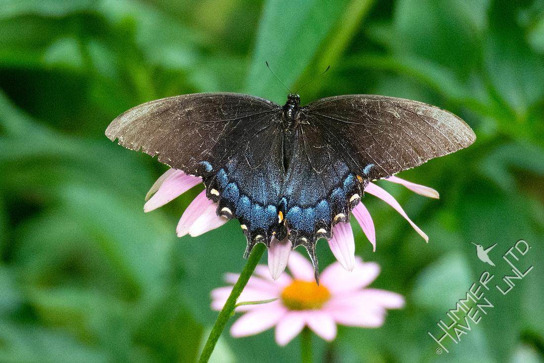 7-23-20 E. Tiger Swallowtail female