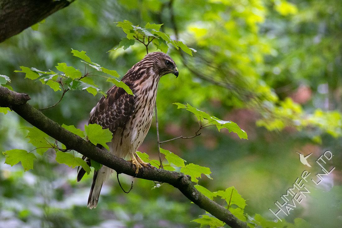 7-22-20 Red-shouldered Hawk juvenile