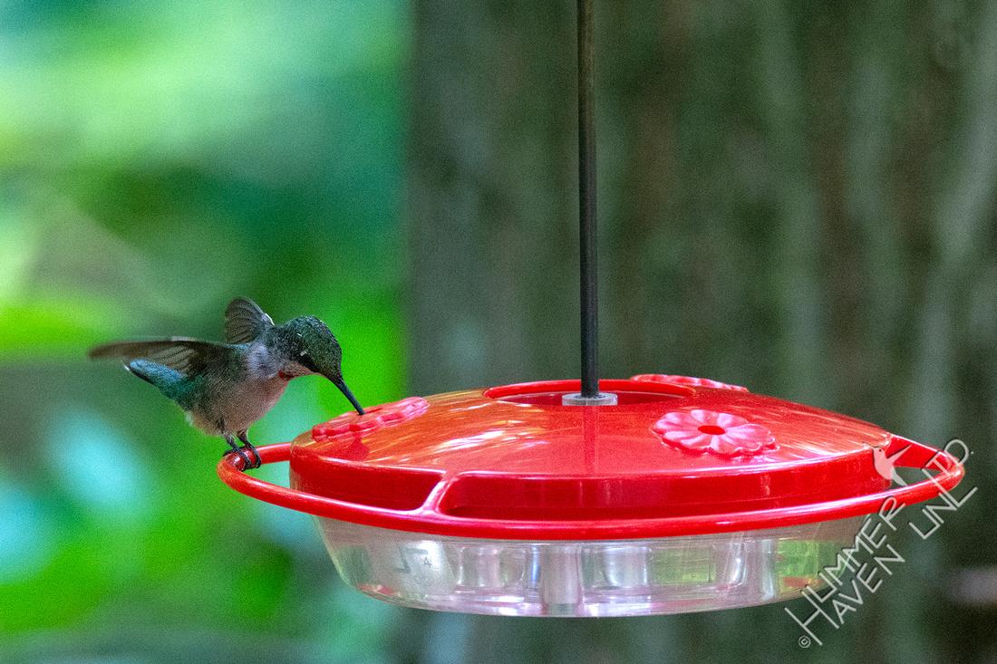 7-23-20 Ruby-throated Hummingbird juvenile