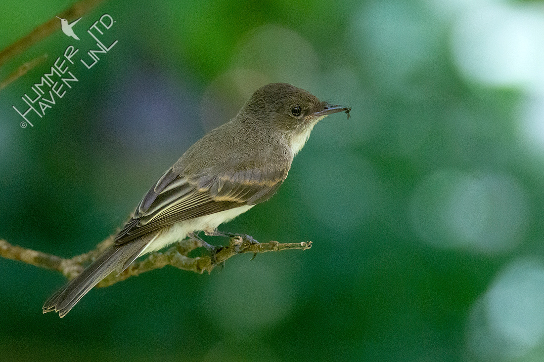 7-26-20 Eastern Phoebe juvenile with gnat